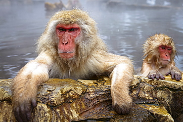 Two Japanese Macaque, Snow Monkey, Macaca fuscata, bathing in hot spring, adult and young animal, Nagano, Japan