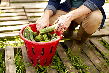 A man kneeling and sorting fresh picked vegetables, courgettes, Kingston, New York, USA