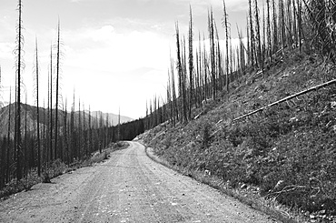 Road through fire damaged forest from extensive wildfire, near Harts Pass, Pasayten Wilderness, Washington, United States of America