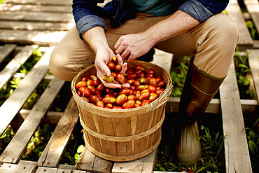 A man kneeling and sorting fresh picked vegetables, plum tomatoes, Kingston, New York, USA