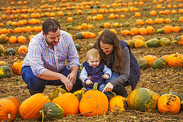 A family, two adults and a young baby among rows of bright yellow, green and orange pumpkins harvested and left out to dry off in the fields in autumn, England, United Kingdom