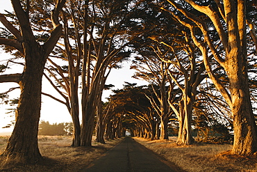 View along a tunnel of cypress trees which have grown together over the road, to create the cypress tree tunnel.  Dusk, sunset.