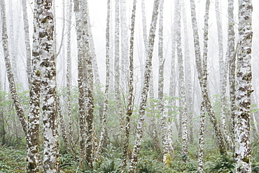 Dense woodland, alder trees with slim straight tree trunks in the mist.