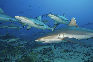 Grey reef sharks in the islands of the South Pacific.