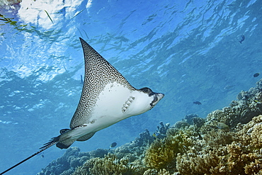 Graceful spotted eagle ray swimming across a coral reef in Fakarava.