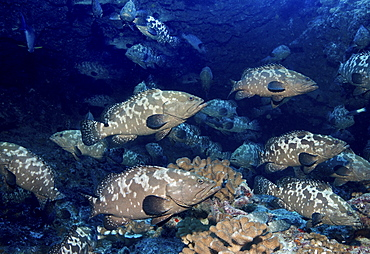A large school of grouper fish spawning in a pass between islands, French Polynesia.