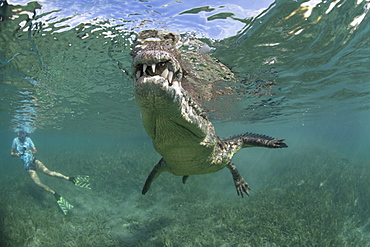 A snorkeller, diver in the water with a socially interactive crocodile at the Garden of the Queens, Cuba.