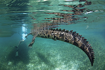A crocodile in a nature reserve, swimming with a snorkeler the Garden of the Queens, Cuba.  Underwater view.