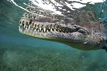Nino, a socially interactive crocodile at the Garden of the Queens, Cuba. Underwater shot, close up of the animal snout.