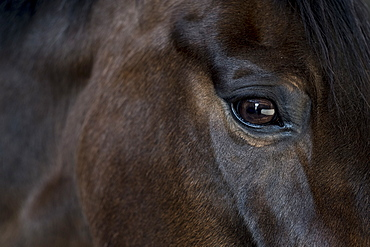 Close up of the head and bright eye of a brown bay horse, United Kingdom