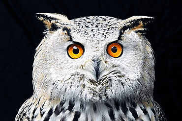 Portrait of Siberian eagle owl (Bubo bubo sibiricus) looking at camera against black background, England