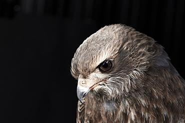 Portrait of a pale chanting goshawk (Melierax canorus) against black background, England