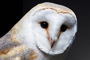 Portrait of a barn owl (Tyto alba) against black background, England