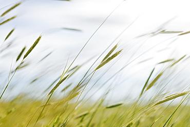 Close up of blades of wheat grass, Washington, United States of America