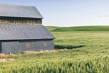 Barn and expansive field of Spring wheat, Washington, United States of America