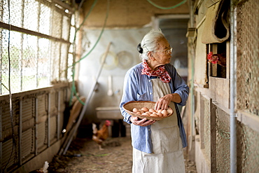 Elderly woman with grey hair standing in a chicken house, holding basket, collecting fresh eggs, Japan