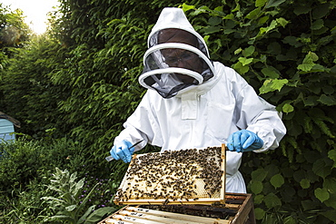 Beekeeper wearing protective suit at work, inspecting wooden beehive, England, United Kingdom - 1174-4777