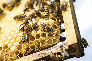 Close up of bees and honeycomb in wooden beehive, England, United Kingdom - 1174-4782
