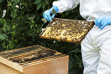 Beekeeper wearing protective suit at work, inspecting wooden beehive, England, United Kingdom - 1174-4784