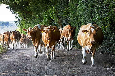 Herd of Guernsey cows being driven along a rural road, Buckinghamshire, England