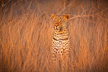 A leopard, Panthera pardus, sits in tall dry brown grass and looks around alert, ears facing forward, Londolozi Game Reserve, Sabi Sands, Greater Kruger National Park, South Africa