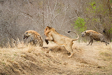 A male lion, Panthera leo, chasing a spotted hyena, Crocuta crocuta, a second hyena attacking the lion, Londolozi Game Reserve, Sabi Sands, Greater Kruger National Park, South Africa