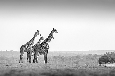 Two animals, Giraffa camelopardalis, stand in an open clearing, clear sky, black and white image, Londolozi Game Reserve, Sabi Sands, Greater Kruger National Park, South Africa
