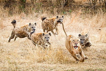 A lioness, Panthera leo, runs away with its tail up, wide eyed and mouth open as four spotted hyena, Crocuta crocuta, chase after it in dry yellow grass, Londolozi Game Reserve, Sabi Sands, Greater Kruger National Park, South Africa