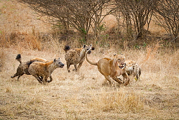 Four spotted hyenas, Crocuta crocuta, run and chase after a lion, Panthera leo, through dry yellow grass, Londolozi Game Reserve, Sabi Sands, Greater Kruger National Park, South Africa