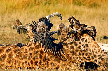 White-backed vultures, Gyps africanus,  stand on a giraffe carcass, Giraffa camelopardalis, open up their wings, looking away, Londolozi Game Reserve, Sabi Sands, Greater Kruger National Park, South Africa