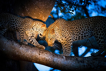 A leopard mother, Panthera pardus, and her cub, stand on the branch of a tree with the spotlight on them, looking away, touching heads, Londolozi Game Reserve, Sabi Sands, Greater Kruger National Park, South Africa