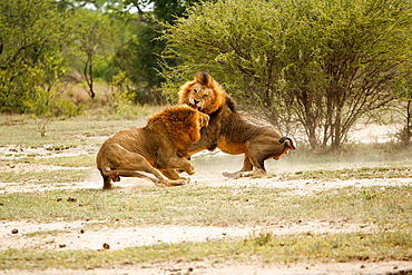 Two male lions, Panthera leo, fighting in a clearing, snarling and picking up dust from the ground, trees and bushes in the background, Londolozi Game Reserve, Sabi Sands, Greater Kruger National Park, South Africa