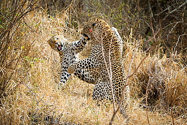 Two leopards, Panthera pardus, fighting, snarling and on their hind legs, in dry yellow grass, Londolozi Game Reserve, Sabi Sands, Greater Kruger National Park, South Africa