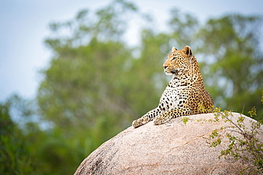 A leopard, Panthera pardus, lies on a boulder, looking away, trees and blue sky in background, Londolozi Game Reserve, Sabi Sands, Greater Kruger National Park, South Africa