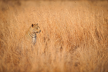 A leopard cub, Panthera pardus, sits and looks away, sitting in long dry yellow-brown grass, Londolozi Game Reserve, Sabi Sands, Greater Kruger National Park, South Africa