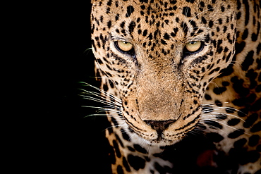 Head of a male leopard, Panthera pardus, front view of yellow-green eyes, white whiskers and rosette skin marking, black background, Londolozi Game Reserve, Sabi Sands, Greater Kruger National Park, South Africa