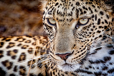 A leopard's face, Panthera pardus, looking away with whiskers and yellow-green eyes, Londolozi Game Reserve, Sabi Sands, Greater Kruger National Park, South Africa
