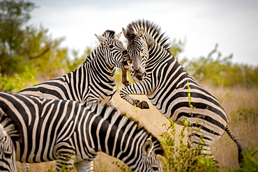 Two zebra, Equus quagga, stand on their hind legs rearing and fight, biting showing teeth, Londolozi Game Reserve, Sabi Sands, Greater Kruger National Park, South Africa