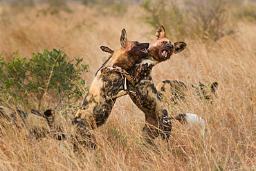 Two wild dog, Lycaon pictus, standing on their hind legs and fighting, front legs around each other, bloody faces, mouths open showing teeth, Londolozi Game Reserve, Sabi Sands, Greater Kruger National Park, South Africa
