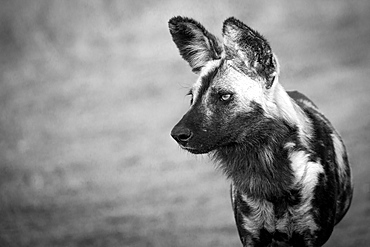 The head of a wild dog, Lycaon pictus, looking away, black and white, Londolozi Game Reserve, Sabi Sands, Greater Kruger National Park, South Africa