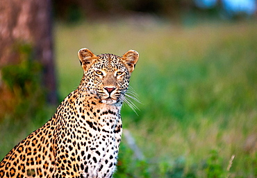 A leopard, Panthera pardus, sits in green grass, alert, ears forward, yellow eyes, white whiskers, dark rosettes on fur, Londolozi Game Reserve, Sabi Sands, Greater Kruger National Park, South Africa