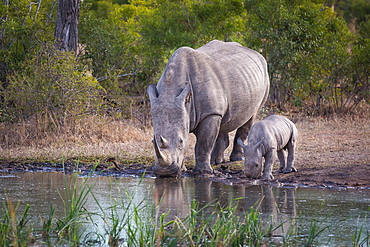 A rhino mother and calf , Ceratotherium simum, drink water from a waterhole, Londolozi Game Reserve, Sabi Sands, Greater Kruger National Park, South Africa
