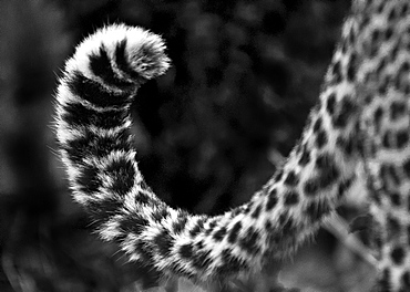 A leopard's tail, Panthera pardus, curled up, dark rosettes on fur, in black and white, Londolozi Game Reserve, Sabi Sands, Greater Kruger National Park, South Africa