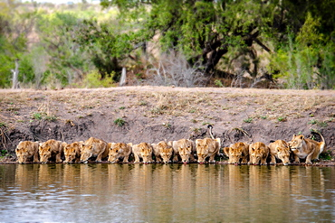 A pride of lions, Panthera leo, lying down and drinks water, lapping water, facing camera, river bank and trees in background, Londolozi Game Reserve, Sabi Sands, Greater Kruger National Park, South Africa
