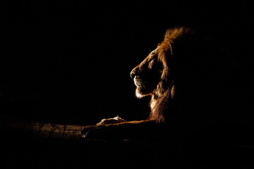 The side profile of a male lion lying down, Panthera leo, at night, lit up by spotlight, looking away, Londolozi Game Reserve, Sabi Sands, Greater Kruger National Park, South Africa