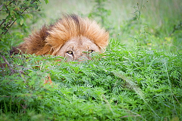 A male lion, Panthera leo, peeks up from behind a bush, yellow eyes and mane visible, Londolozi Game Reserve, Sabi Sands, Greater Kruger National Park, South Africa