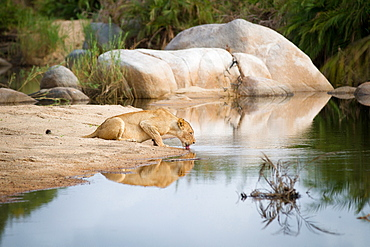 A lioness, Panthera leo, crouches down on sand and drinks water, laps water with tongue, looking away, ripples in water, boulders in background, Londolozi Game Reserve, Sabi Sands, Greater Kruger National Park, South Africa
