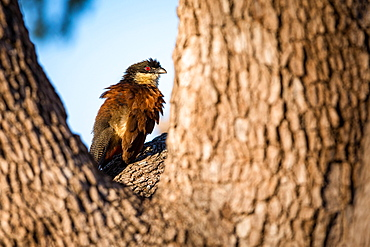 Burchell's coucal, Centropus burchellii, sits in the fork of a tree, Londolozi Game Reserve, Sabi Sands, Greater Kruger National Park, South Africa