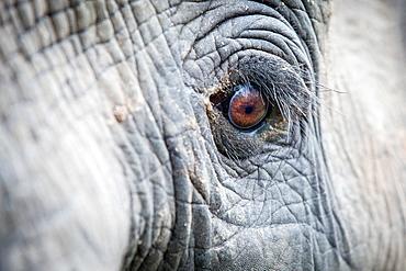 An elephant's eye, Loxodonta africana, long eyelashes, creased skin, direct gaze, Londolozi Game Reserve, Sabi Sands, Greater Kruger National Park, South Africa