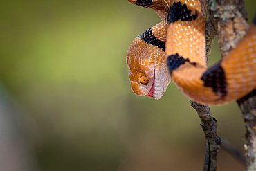 The head and body of a common tiger snake, Telescopus semiannulatus, mouth open, yellow orange eyes, coiled on a branch, Londolozi Game Reserve, Sabi Sands, Greater Kruger National Park, South Africa